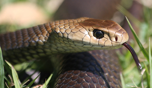 Snake Envenomation - Canberra Emergency Services